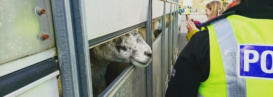 On the left there is a trailer full of sheep waiting to be delivered to the slaughterhouse. On the right are animal rights activists and a police officer.